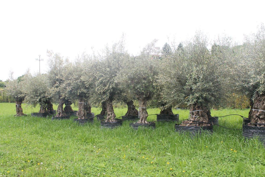Vivaio Peschiera Del Garda realizzazione giardini mantova mn   realizzazione giardini